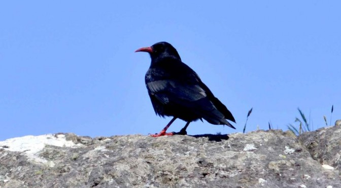Choughs Allihies Mines